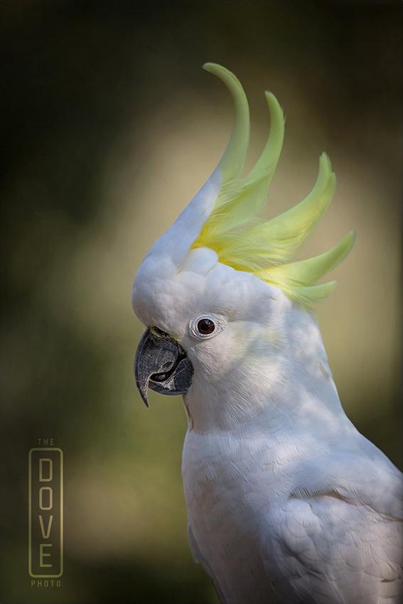 Hello Cockatoo